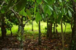 Kakaoplantage-mit-noch-grunen-Fruchten