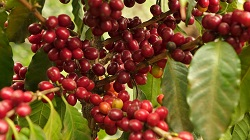 cafecita_reife_kaffeekirschengDWXptv5jV8BR