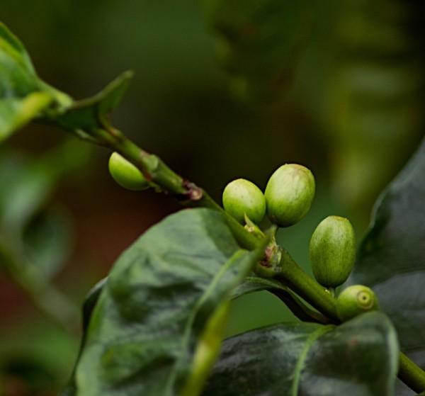bio_kaffeepflanze