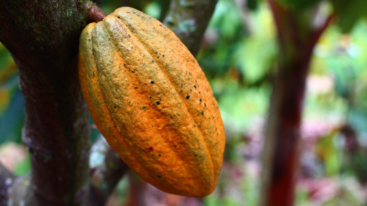 Frucht an Kakaobaum