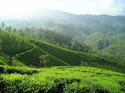 Teeeplantage-Indien