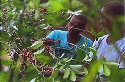 Etiopian-Yirgacheffe
