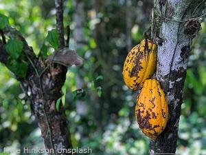 Reife-Kakaofruchte