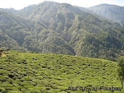 Teeplantage-Darjeeling