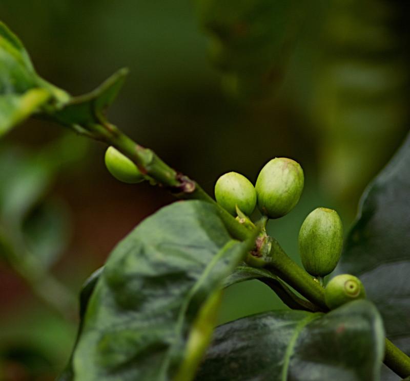 Bio Kaffeeplanze